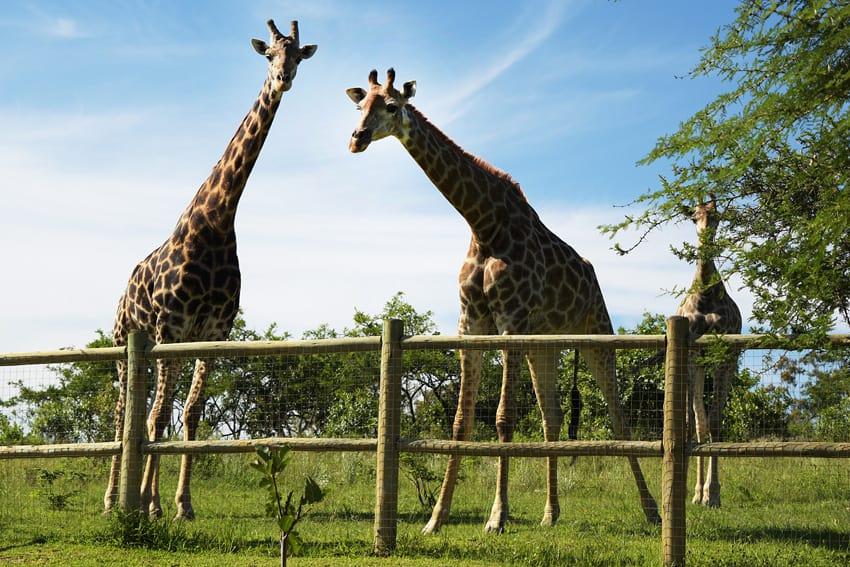 Giraffen @ Home