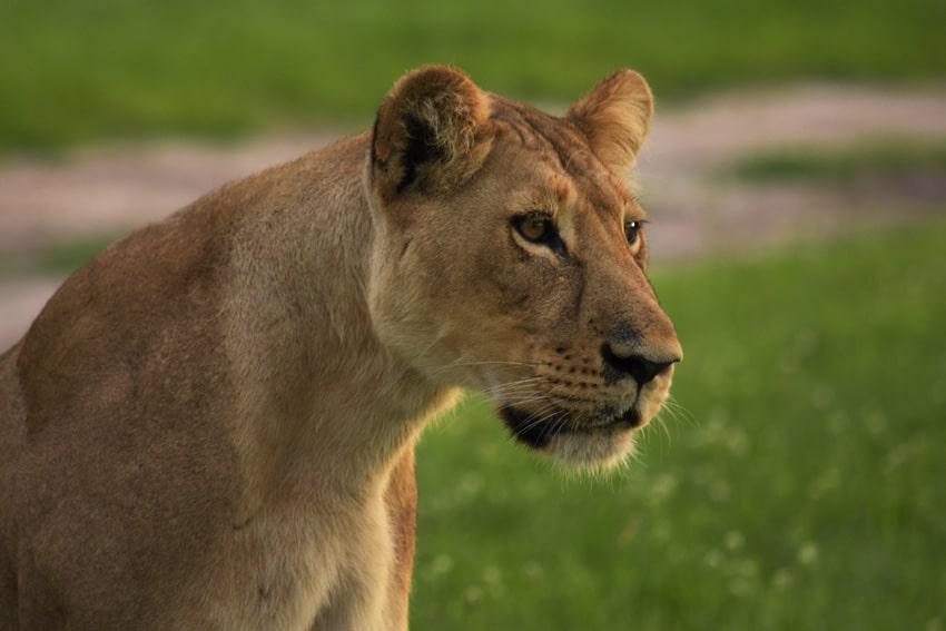 Wild Lions!!