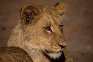 Mabua-Lions