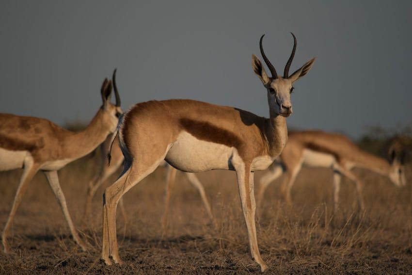 Tiere der Central Kalahari