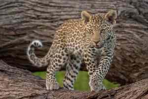 Leoparditis ;-)