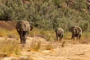 Ugab-Elefanten