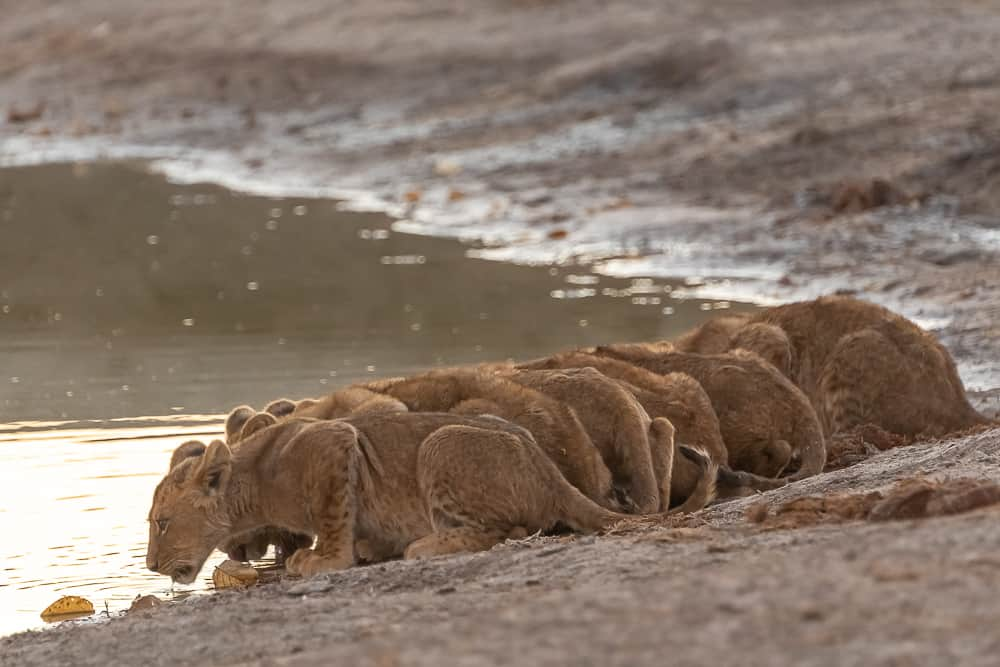Lion-Cubs in Savuti