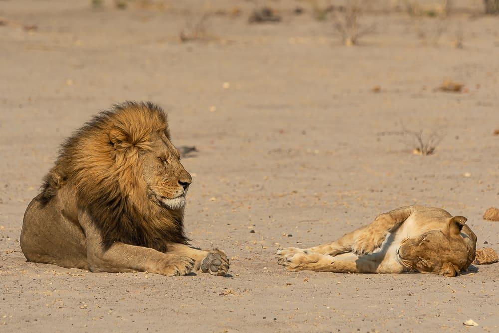 Lions in Savuti