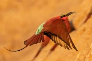 Bee-Eater, next Photo-Session