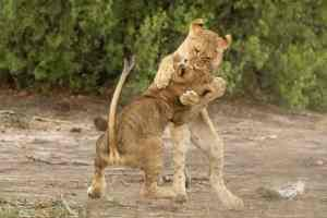 Lion Cubs in Action