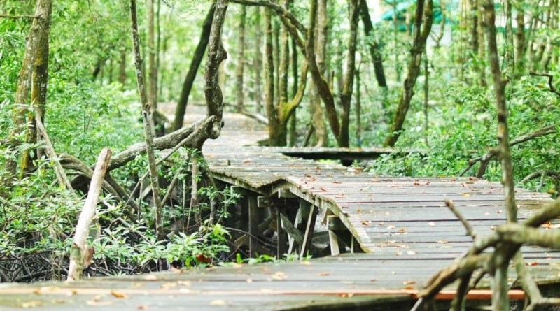 Seeing the active action of proboscis monkeys in the Tarakan Mangrove Forest