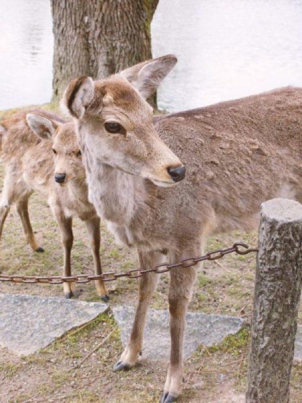 Todai-ji Temple and Butt-Biting Deer in Nara