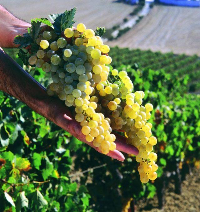 Ende August bis Anfang September erreicht die Traube den optimalen Reifegrad, um geerntet zu werden. Die Zeit für die Weinlese ist gekommen.