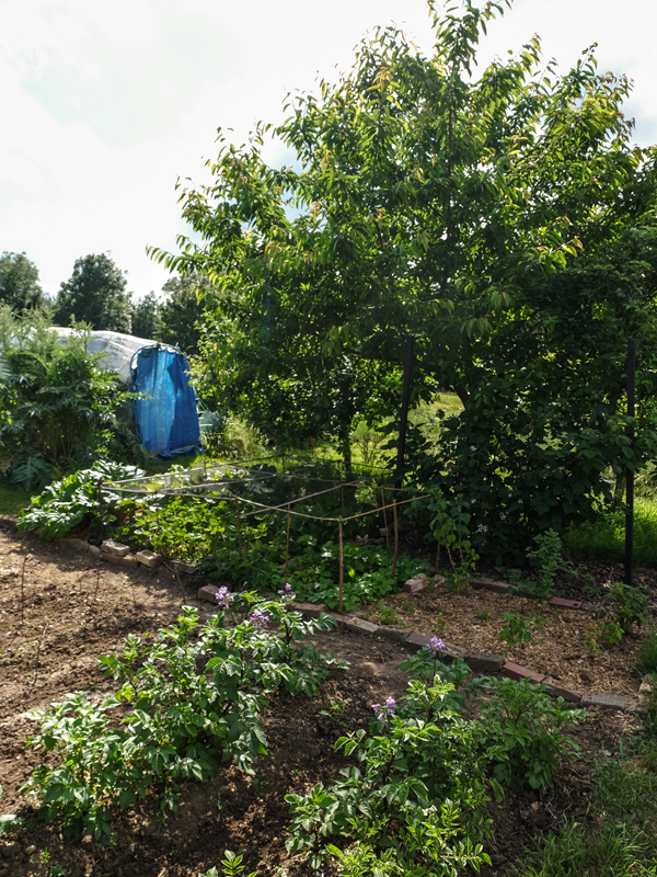 Allotment updates June 2018 | Hello Victoria