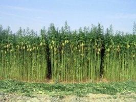 Growing hemp in the USA again?