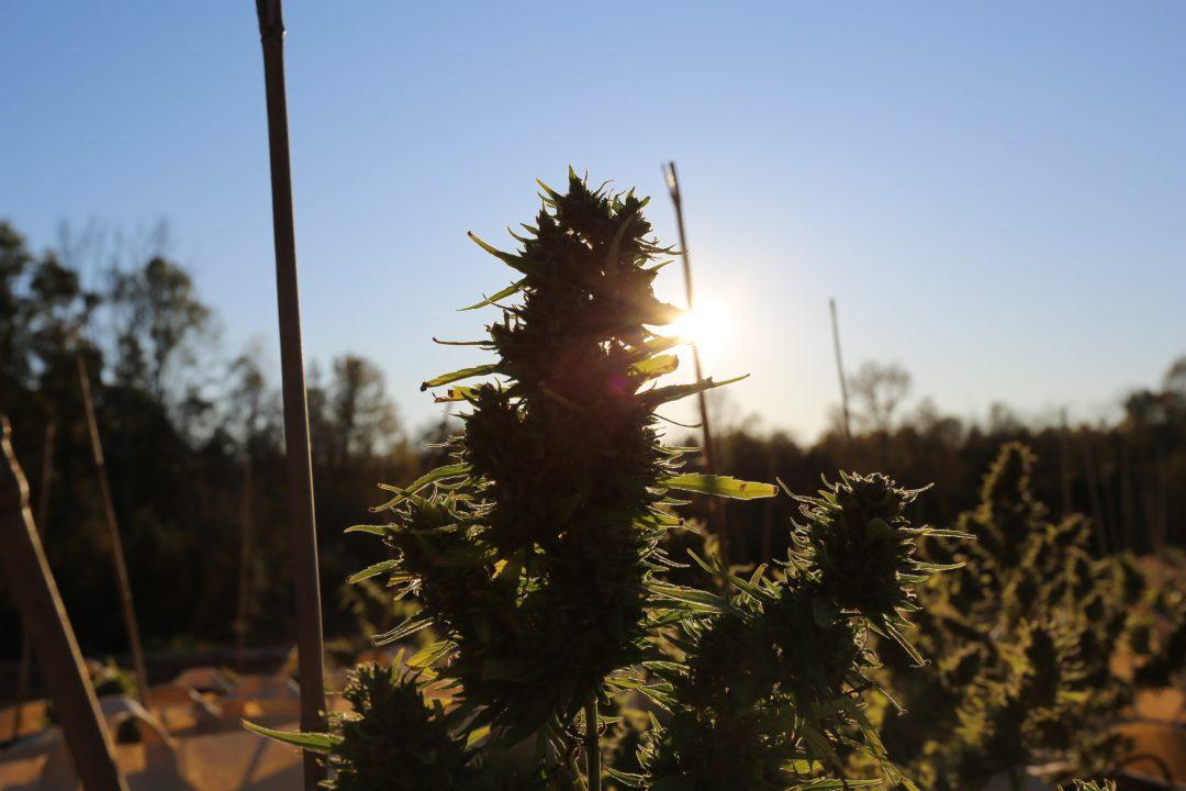 Sunset behind a beautiful hemp flower.