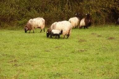 moutons-domaine-abbadia