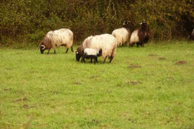 moutons-domaine-abbadia
