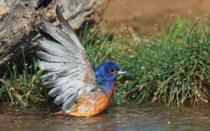 sfw_zachary_webster_painted_bunting
