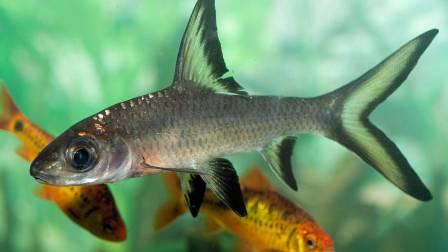 Balantiocheilus_melanopterus_C_E_Timothy_Paine-56a32fd05f9b58b7d0d0df7f