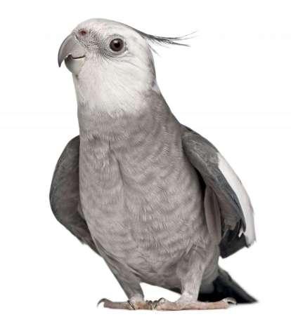 cockatiel-for-sale