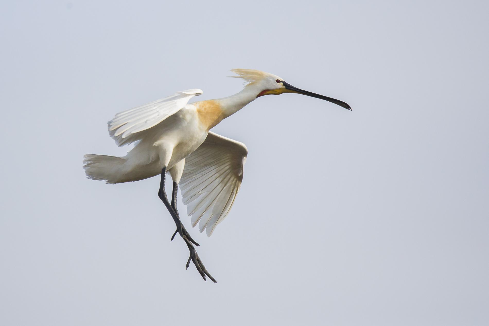 Lepelaar - Eurasian Spoonbill - Netherlands