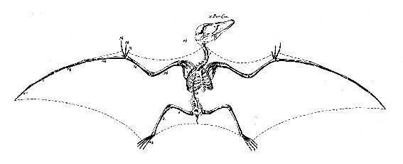 anatomy17 pterodactyl Статья: Анатомия Смауга