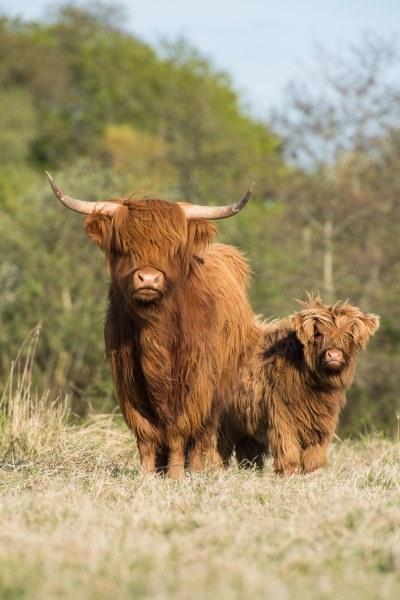 Vaches Highland au Haras-Henson Ferme de Saint-Jean-les-Rue