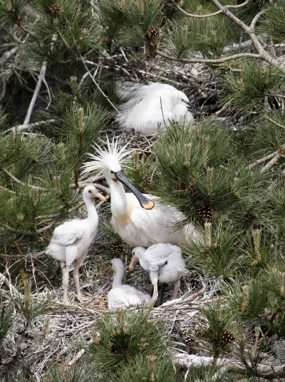 Spoonbill and its chicks in the Domaine du Marquenterre