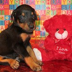 Doberman Pinscher Puppies For Sale In Kentucky Henson S Doberman Pinscher Puppies