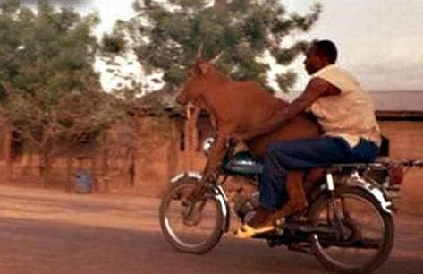 Man-With-Cow-on-Motorcycle