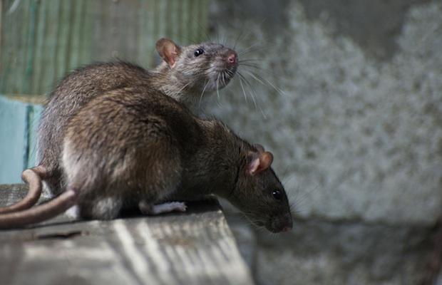 rats_503079