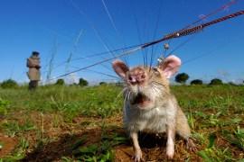 rats-sniff-landmines