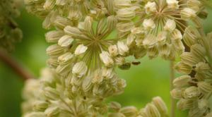 Herbs for Breast Enlargement