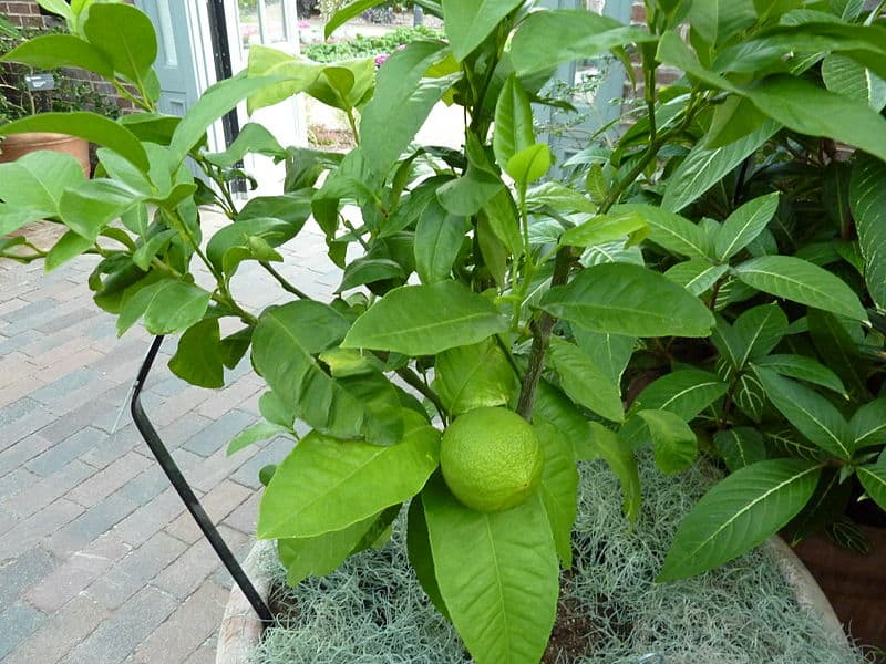 Bergamot Oil Herb Uses And Health Benefits
