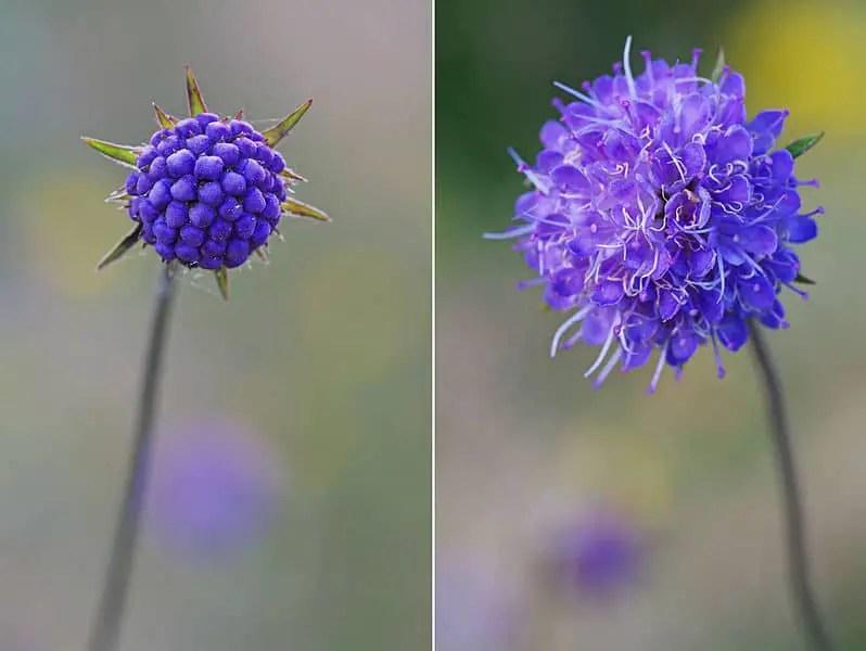 devil's bit scabious flower