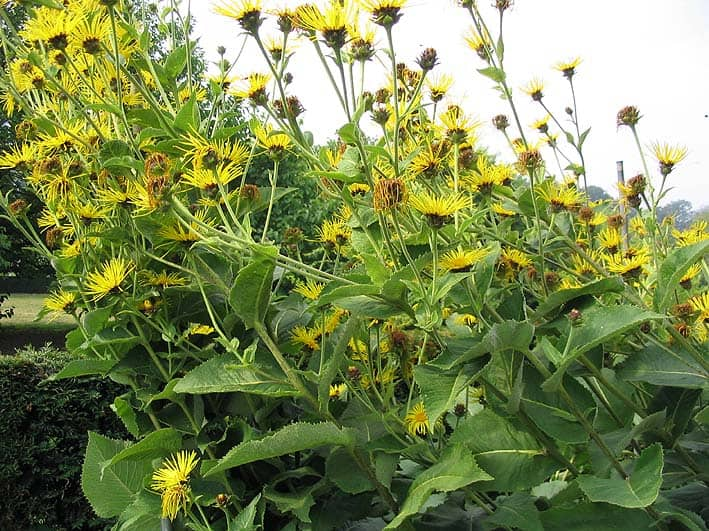 Elecampane Herb Benefits And Side Effects