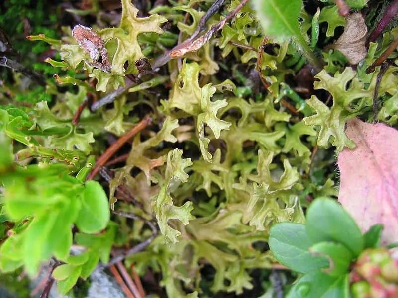 Iceland moss lichen