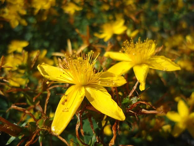 St John S Wort Herb Uses Side Effects And Benefits