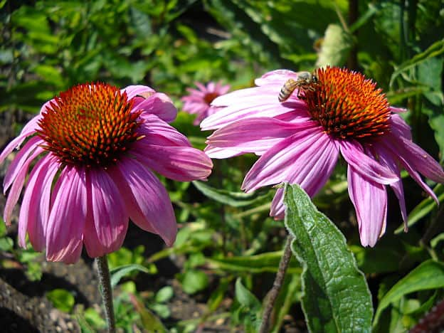 herbs for flu - echinacea