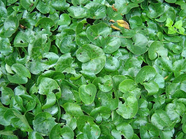 asarabacca herb
