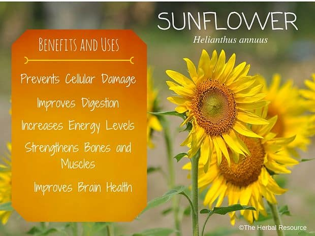 sunflower benefits and uses