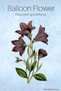 Balloon Flower - Medicinal Herb