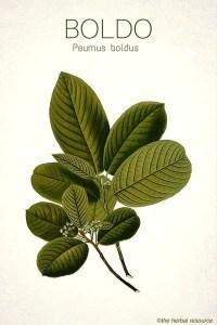 Boldo - Medicinal plant