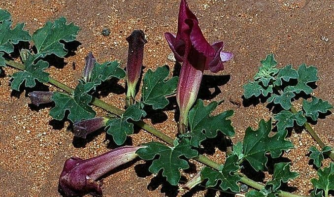 Image result for Devil's Claw