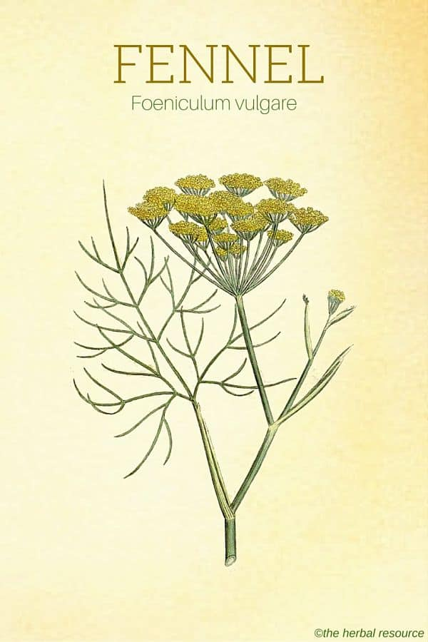 Fennel Herb Side Effects Uses And Benefits