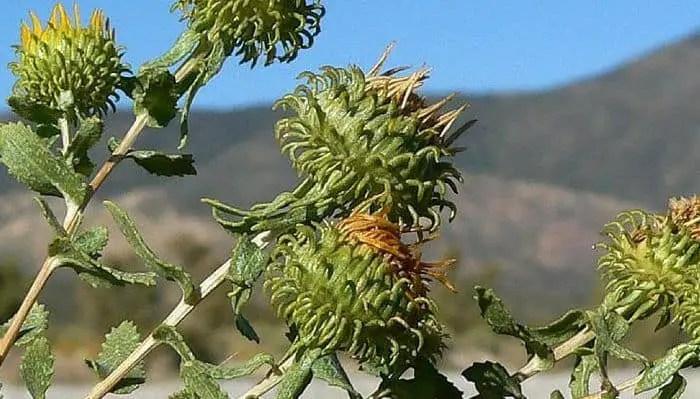 Grindelia squarrosa Flowers