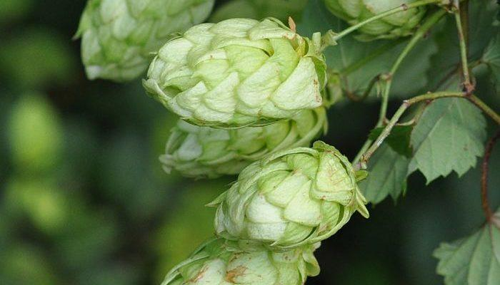 Hops Plant Uses Benefits And Side Effects As A Medicinal Herb