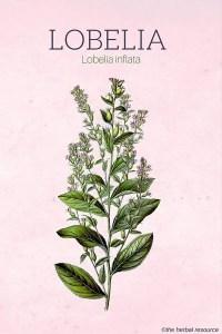 The Herb Lobelia Inflata