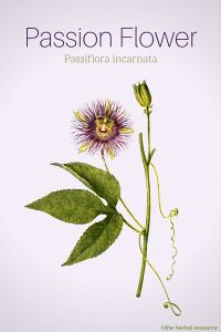 Passion Flower Passiflora incarnata