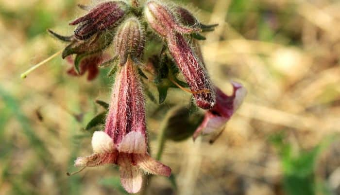 Rehmannia Root - Health Benefits and Side Effects