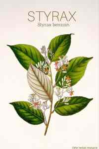 Styrax benzoin