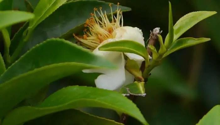 tea plant herb