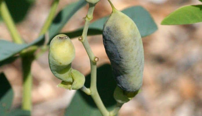 Wild Indigo Seed Pods